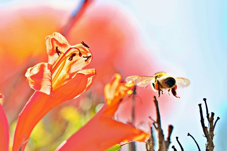 Flowering Plant Flower Animals In The Wild Animal Wildlife Animal Themes Beauty In Nature Close-up Animal Petal Vulnerability  Freshness Insect In Flight No People Nature One Animal Springtime Flower Head Pollen Pollination Fragility Bee Invertebrate Flying Bee