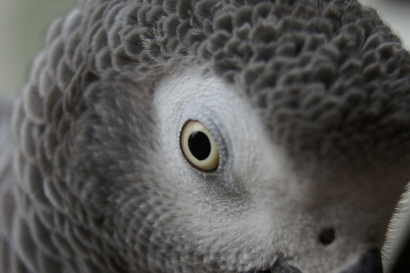 African Grey Parrot Eye Feather  Feathers Gray Gray Parrot Parot Psittacidae Timneh African Grey Parrot Timneh Parrot Bird Pet Portraits