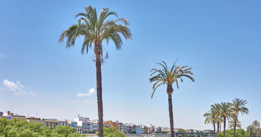 Row of palmtrees Guadalquivir Guadalquivir River Perspectives On Nature Tree Trunk Sky Scenics Palm Tree Outdoors No People Nature Day Clear Sky Beauty In Nature