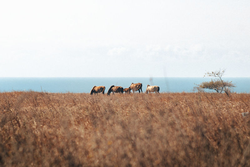 Horses in a field of africa