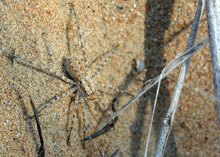 Wolf spider at the Dubai Desert Conservation Reserve. Animal Themes Animals In The Wild Ant Close-up Day Dubai Dubaidesert Dubaidesertconservationreserve Insect Nature No People Outdoors Spider UAE Wolfspider