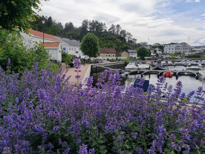 Norway Seascape Flower Tree Purple Multi Colored Sky Cloud - Sky Lavender Colored In Bloom Flowering Plant Crocus Blooming Lilac Botany