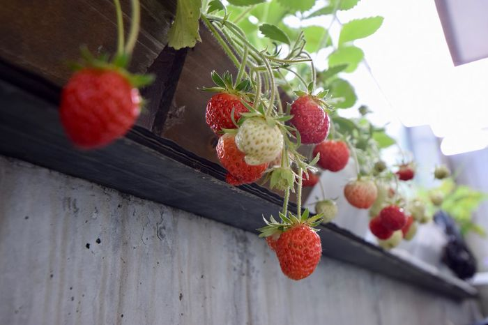 Berry Fruit Freshness Food Strawberry Healthy Eating Food And Drink Fruit Plant Nature Red