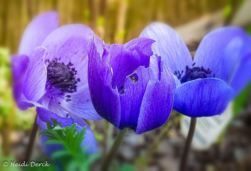 Flower Head Flower Crocus Iris - Plant Petal Purple Close-up Plant Poppy Flowering Plant Lilac In Bloom Blossom Plant Life