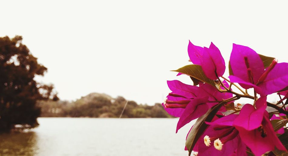Flower Beauty In Nature Nature Lake Petal Leaf Fragility Pink Color Tree Outdoors Freshness Springtime No People Clear Sky Water Sky Close-up Day Branch Flower Head Blooming Blossom Maroon