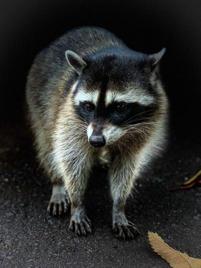 Raccoon One