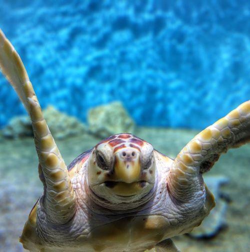 Sea Turtle Monterey Bay Aquarium Under Water Blue Ocean AMPt_community AMPt_Nature Depth Of Field Turtle