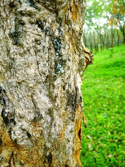 Tree Trees Nature Nature Photography Forest Latex Rubber Tree Bark Bark Texture Macro Macro Tree Colour Of Life Kebun Ptpn5 Hutan Karet Bsb City Mijen Buy Me Buy My Photo New Talents