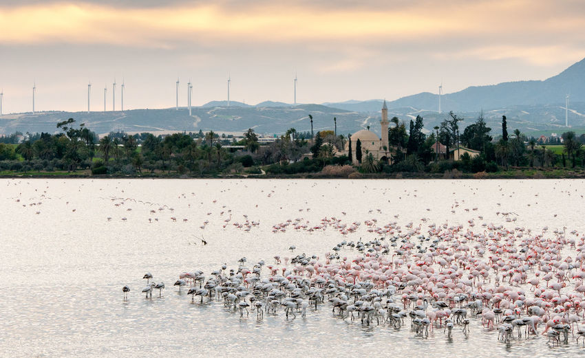 Large group of Flamingo birds on the slat lake of Larnaca in Cyprus Flamingo Hala Sultan Tekke Animal Themes Animal Wildlife Animals In The Wild Bird Cloud - Sky Day Flamingo Flamingo Birds Industry Islamic Templ Lake Large Group Of Animals Larnaca, Cyprus Mountain Nature No People Outdoors Sky Water