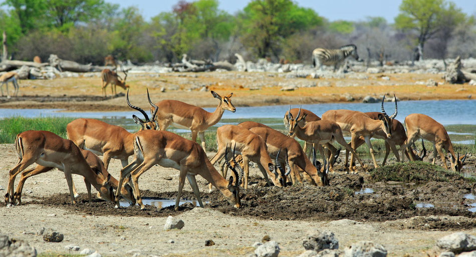 Impalas drinking water at etosha national park
