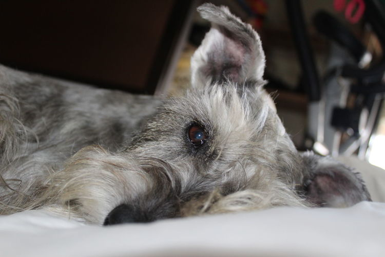Schnauzer Schnauzerlife Animal Animal Body Part Animal Hair Animal Head  Animal Nose Animal Themes Bestfriend Canine Close-up Dog Domestic Domestic Animals Hair Home Interior Indoors  Lying Down No People One Animal Pets Relaxation Selective Focus Vertebrate This Is Family