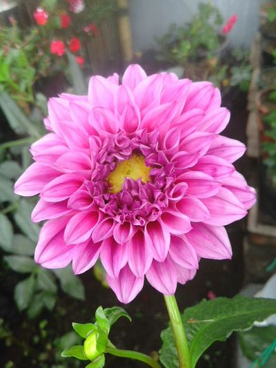 Outdoors Blooming No People Plant Growth Close-up Freshness Petal Fragility Nature Dahlia Garden Dahlia Petals Dahlias Dahliaparadise Dahlia My Number One Nigga Dahliahappy Day Beauty In Nature Green Color Leaf Dahlia Flowers Flower DahliaGarden Flower Head