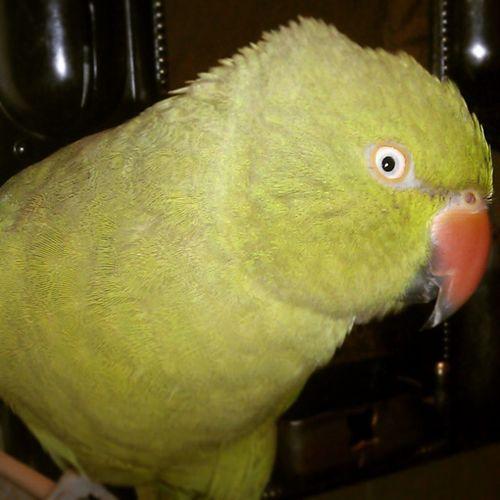 Parrot Angry_bird Bite_Bird Ufffff