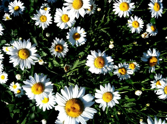 ромашковая поляна природа и красота цветы🌸🌼🌻💐🌾🌿 летоооо😘💕 Flower Daisy Fragility Petal Freshness Nature Flower Head Day Beauty In Nature Close-up No People Growth Outdoors