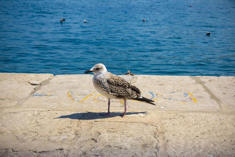 seagull Bird