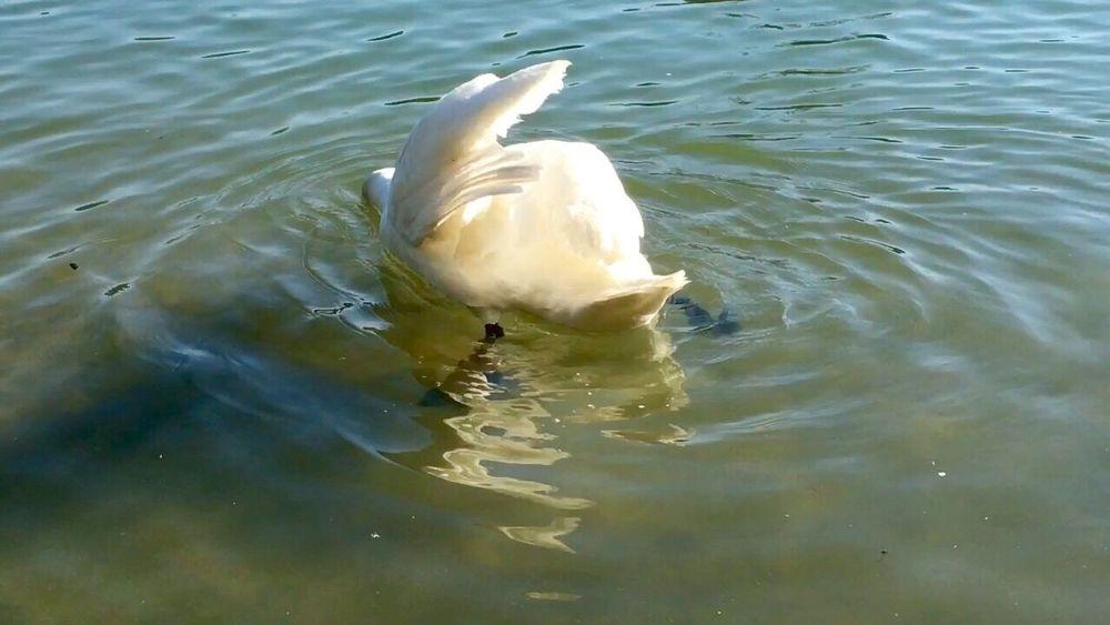 Schwanenfamilie Swan Swantastic Schwan  Schwäne Swans ❤ Swan Series Swans