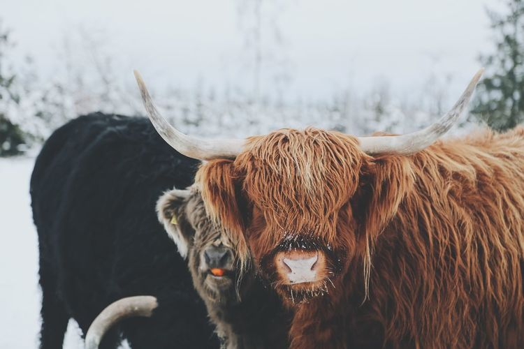 Highland cattle standing outdoors in the winter looking at camera while eating