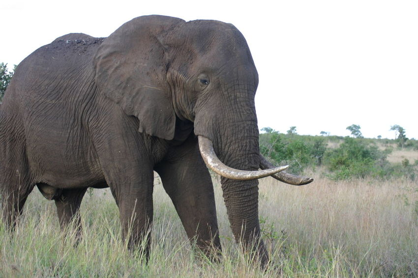 Elephant Elephants Kruger Park Krugernationalpark Krüger National Park  South Africa