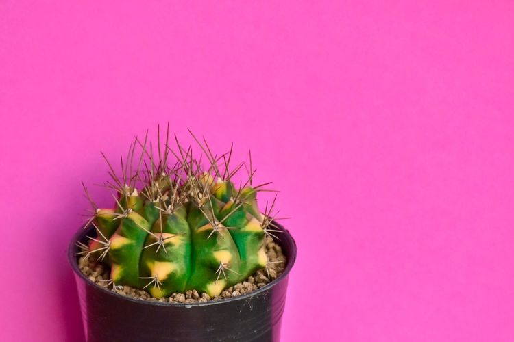 Plant Pink Color Potted Plant Pink Background Cactus Indoors  Colored Background Thorn Freshness Decoration Nature Close-up Beauty In Nature No People Copy Space Green Color Succulent Plant Studio Shot Growth Flower
