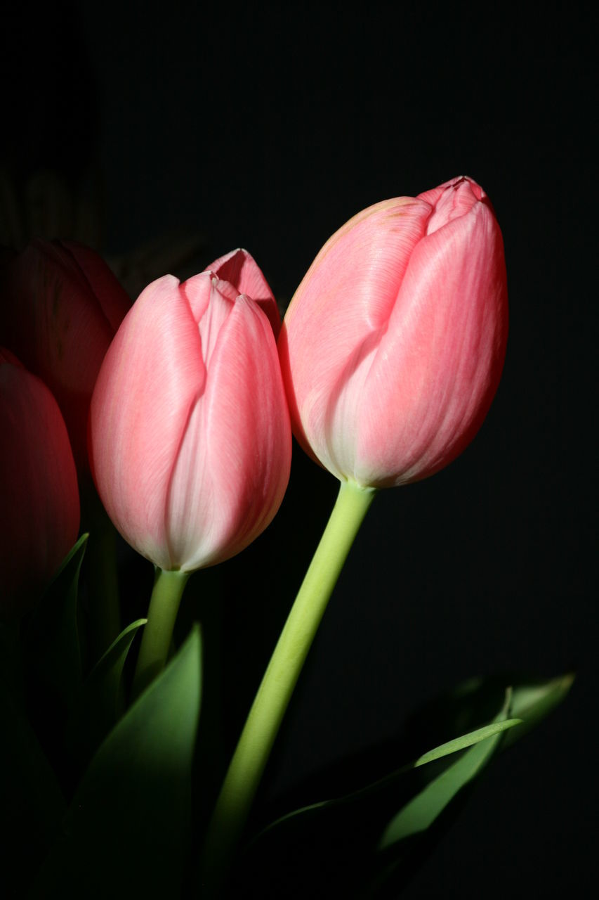 flower, petal, fragility, freshness, beauty in nature, growth, flower head, studio shot, nature, tulip, plant, black background, close-up, pink color, blooming, no people, day, outdoors