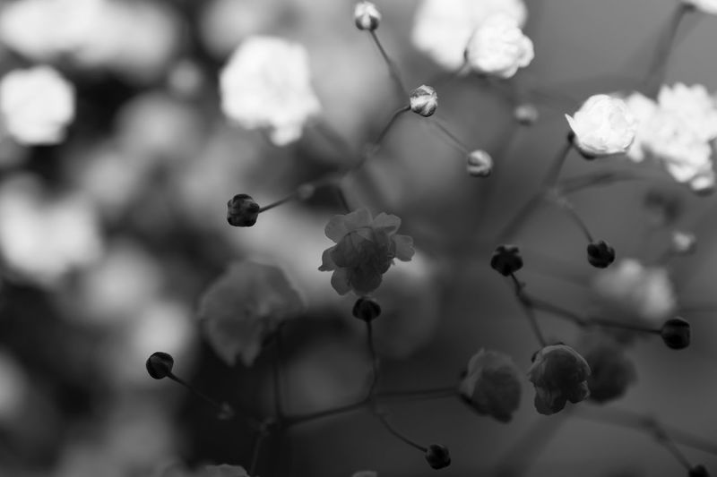 EyeEm Selects Nature Growth Close-up Black And White Flower Monochrome Photography Babysbreath EyeEmNewHere Eyeemphotography Backgrounds