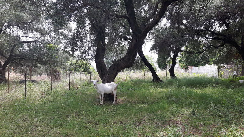Goats and olive trees Animal Animal Themes Animals Goat Goats Greece Holiday Mediterranean  Nature No People Non-urban Scene Olive Tree Olive Trees Olivenbaum Olivenbäume Olives Tourism Tranquility Travel Tree Tree Trees Wanderlust Ziege Ziegen