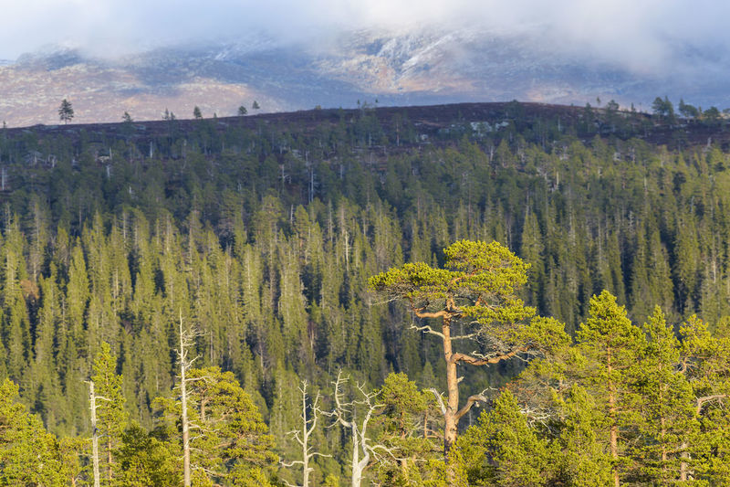 Scenic view of pine trees in forest against sky