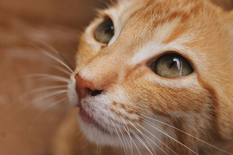 Canela Green Color Animal Animal Body Part Animal Eye Animal Head  Animal Nose Animal Themes Canon Canon1100d Canonphotography Cat Close-up Domestic Domestic Animals Domestic Cat Feline Focus On Foreground Ginger Cat Looking Looking Away Mammal One Animal Pets Photography Whisker