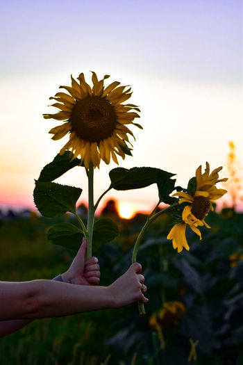 Close-up of hand holding yellow flowering plant against sky