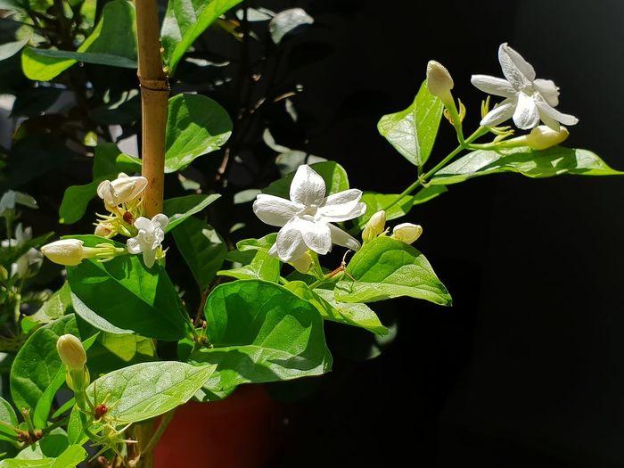 Jasminum Sambac Jasmine Flower Photography Samsung Galaxy S9 Plus Flowering Plant Flower Collection Flower Head Close-up