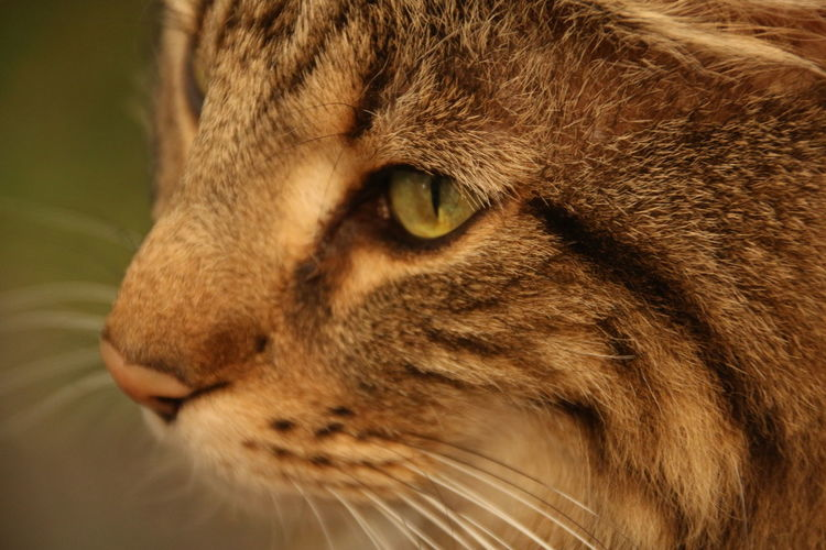 My Love Draken Pets Portrait Feline Domestic Cat Whisker Close-up Big Cat Animal Eye