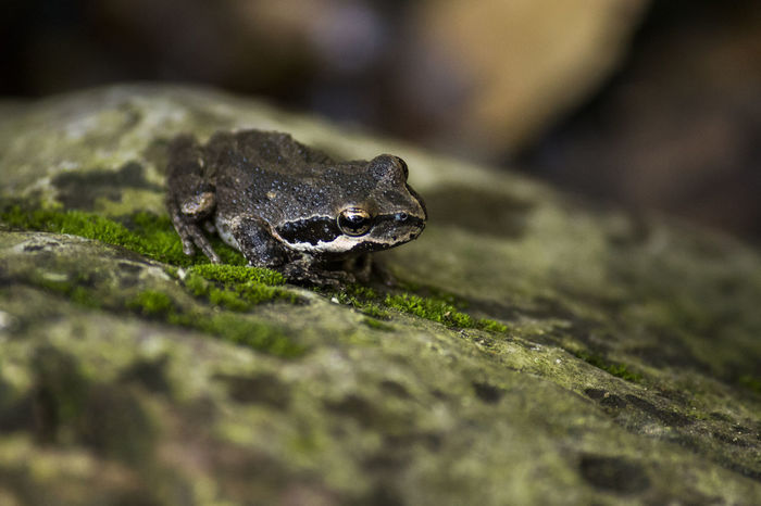 Animal Themes Animal Wildlife Animals In The Wild Babyfrog Chameleon Close-up Day Frog Moss Nature No People One Animal Outdoors Reptile Rock