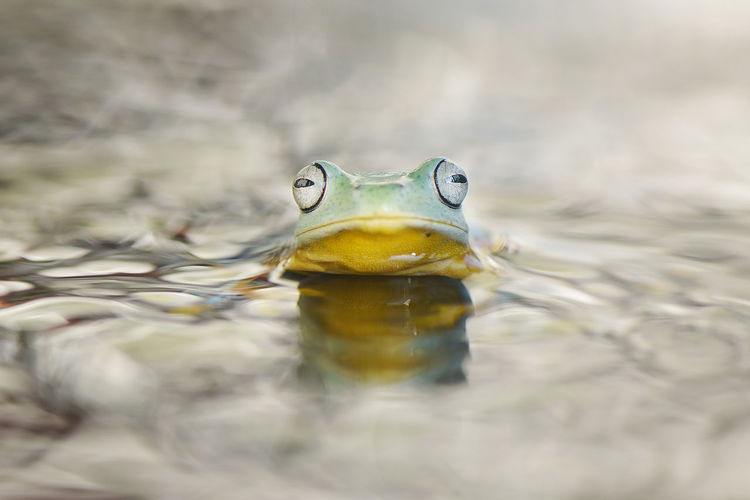 Close-up portrait of frog in water