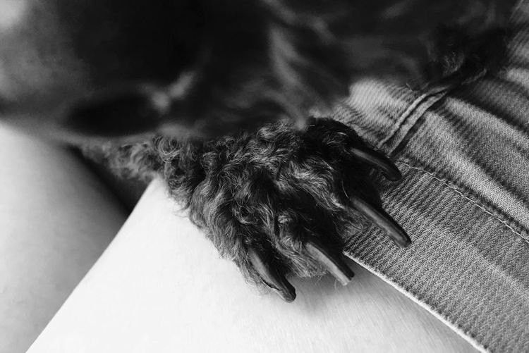 Her paw Monochrome Photography Close-up IPhoneography Iphoneonly Poodle Toy Poodle  Canine
