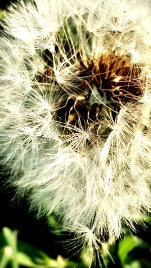 Close-up of dandelion on plant