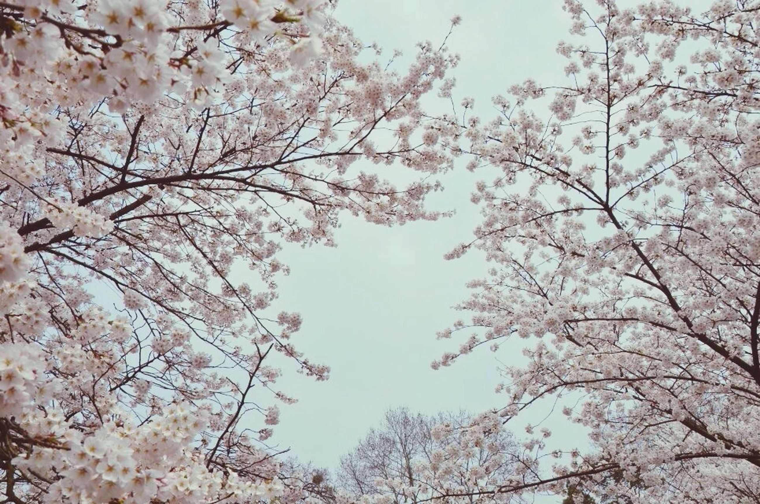 flower, tree, branch, growth, freshness, cherry blossom, low angle view, beauty in nature, blossom, nature, cherry tree, fragility, clear sky, springtime, white color, in bloom, blooming, day, outdoors, sky