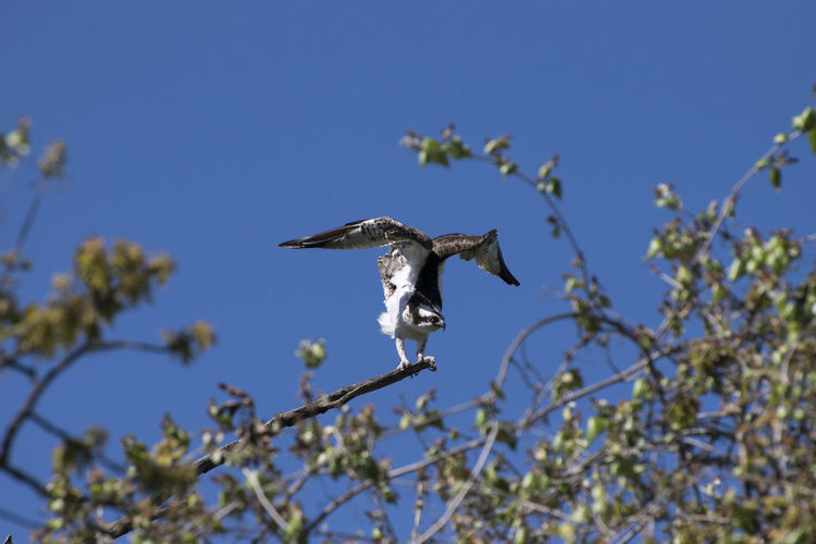 Low Angle View Of Red-Tailed Hawk Perching On Tree Against Clear Blue Sky