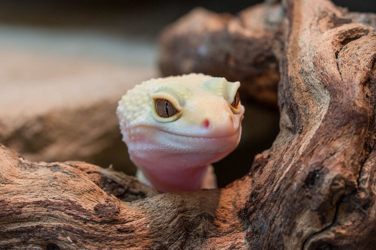 Close-up of young leopard gecko looking through tree trunk