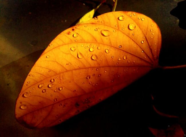 Paint The Town Yellow Droplets On Leaves 100 Shades Of Yellow Light And Shadows Changing Seasons Autumn Colors Nature On Your Doorstep Illuminated Beauty In Decay They All Yellow Leaf 🍂