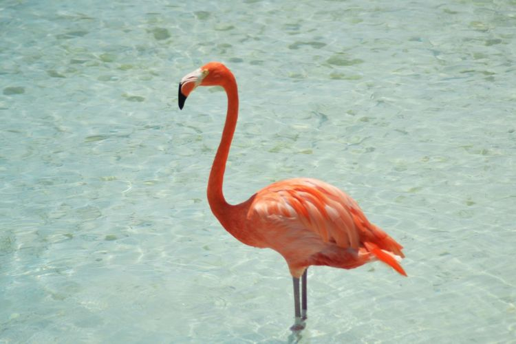 One Animal Bird Flamingo Animals In The Wild Animal Themes Animal Wildlife Red Nature Water No People Beak Day Outdoors Beauty In Nature Close-up Birds Flamingo Flamingos In Water Flamingos Up Close Wildlife Pink Pink Color Animals In The Wild in Aruba Caribbean