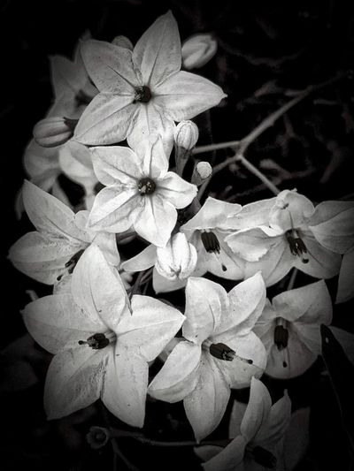 """A Moment In Black And White"" Jasmine nightshade flowers in black and white. Blackandwhite Photography Black And White Flower Flowering Plant Plant Beauty In Nature Petal Close-up Growth Fragility Focus On Foreground White Color"