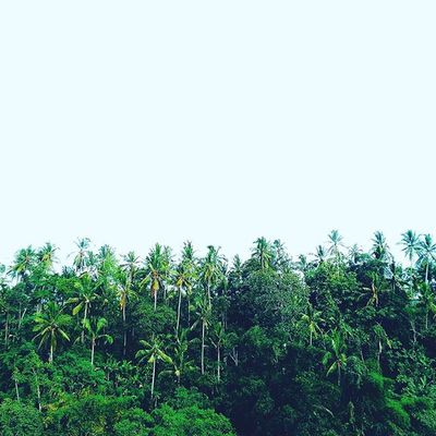 coconut groove Photographylovers Picoftheday Photooftheday Hills Igers IGDaily Instagood Instanesia Instanusantara Instanusantarabali Green Tree Coconut Instafollow Ubud Kuta Sanur Balibible Bali INDONESIA Photosunday