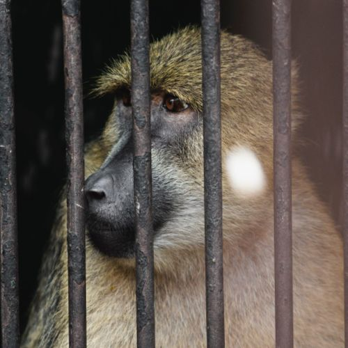 One Animal Cage Animal Themes Monkey Animals In Captivity Mammal Trapped Animal Wildlife No People Looking At Camera Close-up Portrait Animals In The Wild Baboon Day Indoors  Security Bar Nature
