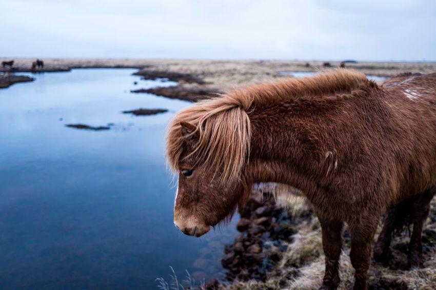 Iceland horse Iceland Nature Travel Domestic Animals Horse Landscape One Animal Outdoors Travel Destinations