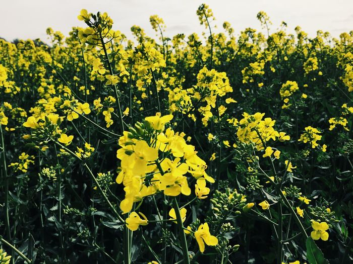 Fresh yellow flowers blooming in field