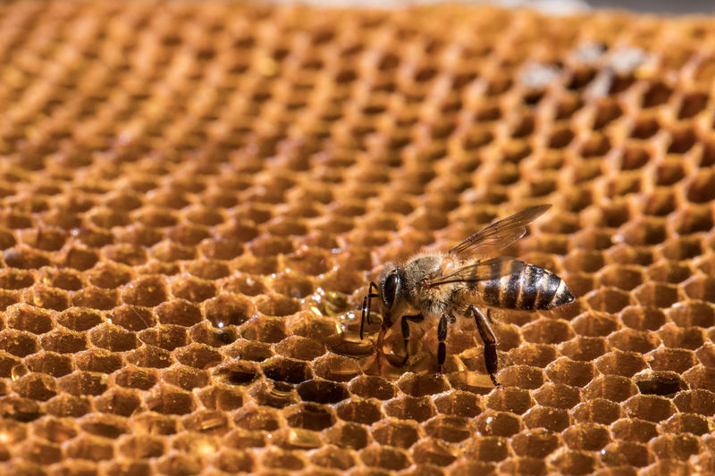 Animals Apiary Background Bee Beehive Beekeeper Bees Beeswax Busy Cell Close Closeup Comb Eating Food Frame Freshness Gold Golden Healthy Hexagon Hive Honey Honeycomb Honeyed Insect Lifestyle Macro Medicine Natural Nature Pattern Pollen Shape Sweet Texture Wax White Wild Working Yellow