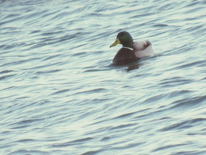 Duck in the St. Clair River