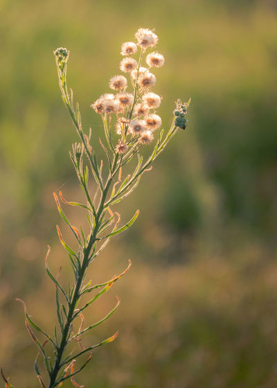 Plant Backlight Nature Sunlight Beauty In Nature Close-up Day Field Flower Flower Head Flowering Plant Focus On Foreground Fragility Freshness Growth Inflorescence Land Nature Nature_collection No People Outdoors Plant Plant Stem Selective Focus Tranquility Vulnerability