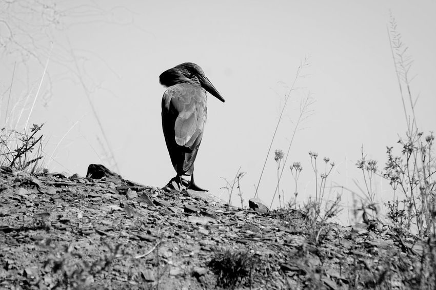 Standing Guard ~ Animal Wildlife Bird Animals In The Wild No People Outdoors Full Length Sky Nature Watching South Africa Natal Bird Photography Birds Of EyeEm  Blackandwhite Blackandwhite Photography Close-up Solitary Arid Landscape waiting game The Week On EyeEm Hamerkop