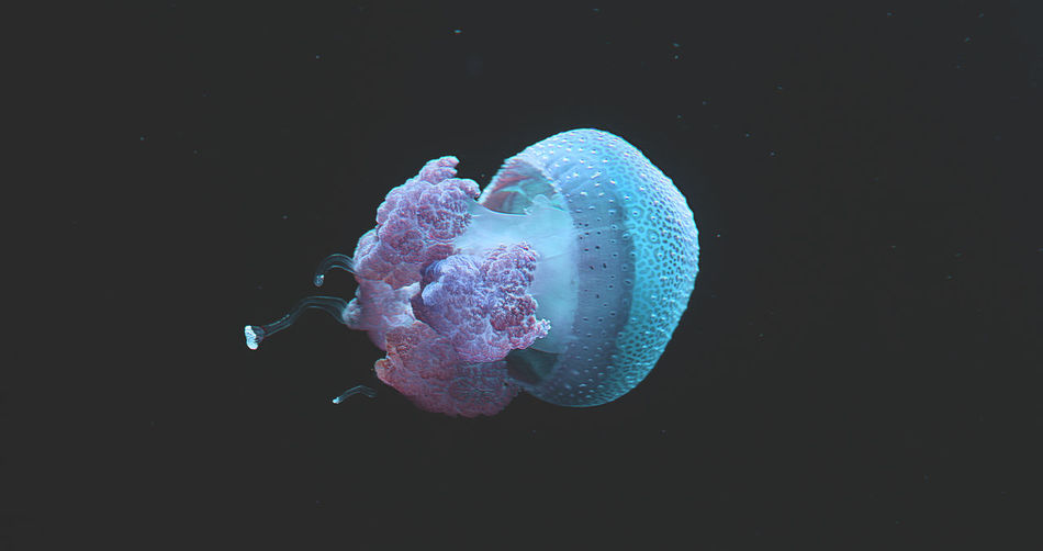 Aquarium Beauty In Nature Black Background Blue Darkness And Light Fragility Freshness Jelly Fish Nature Purple Textured  Water